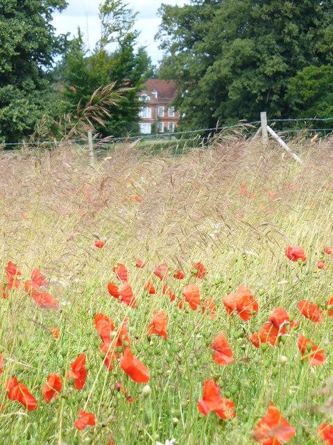 Poppies in Season, West Horsley