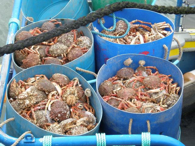 Saundersfoot haul of Spider Crabs.