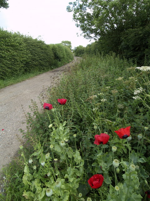 Trackside Wild Poppies