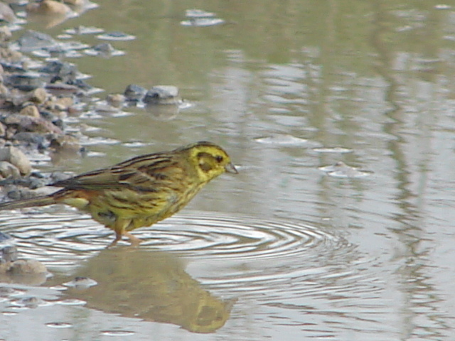 Bathing Yellowhammer