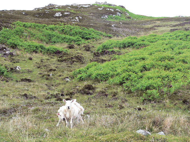 Rough grazing for sheep on Carn na h-Uamhaig