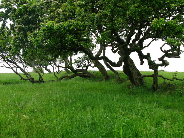 Trees on Crag Hill, near Brockleyhall Moor