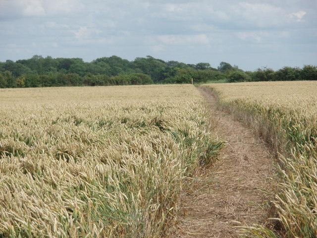 Footpath through the wheat field