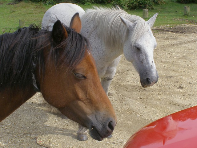 Ponies shading at Smugglers' Road car park, New Forest
