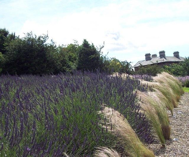 Lavender at Terrington