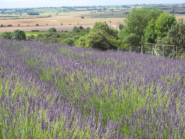 Lavender in the Howardian Hills