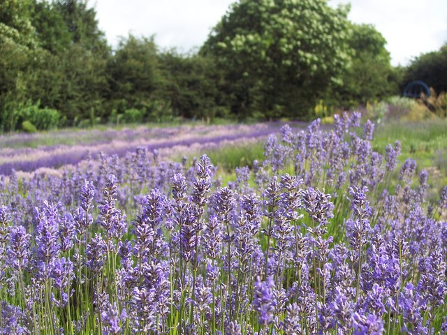 Lavender fields at Terrington