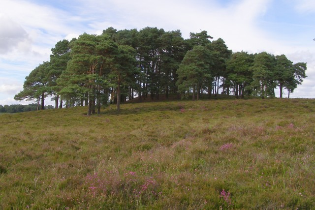 Pine clump above Strodgemoor Bottom, New Forest