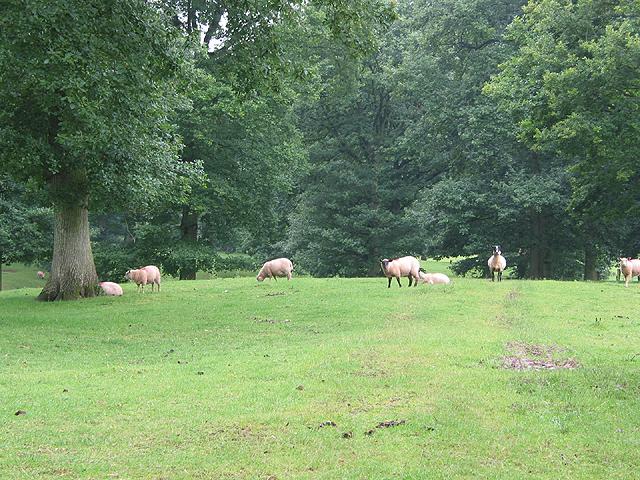 Sheep grazing near Beavan's Hill