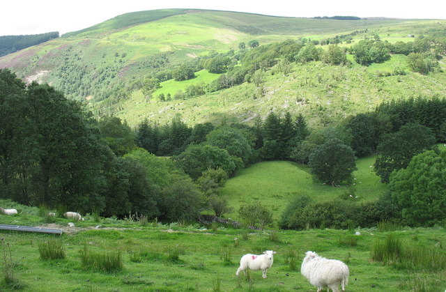 Sheep grazing on the slopes of the Mawddach Valley