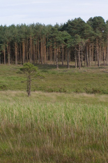 Lone pine tree in the mire, Cranesmoor, New Forest