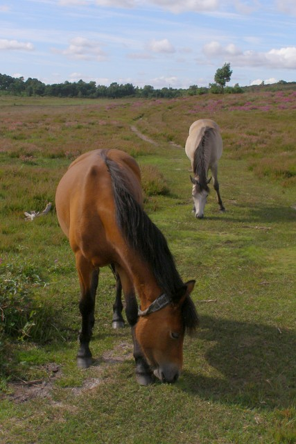 Ponies grazing on dry heath, Strodgemoor Bottom, New Forest
