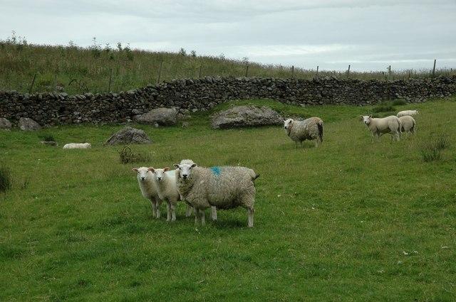 NY3832 - meet the locals - Lakeland sheep