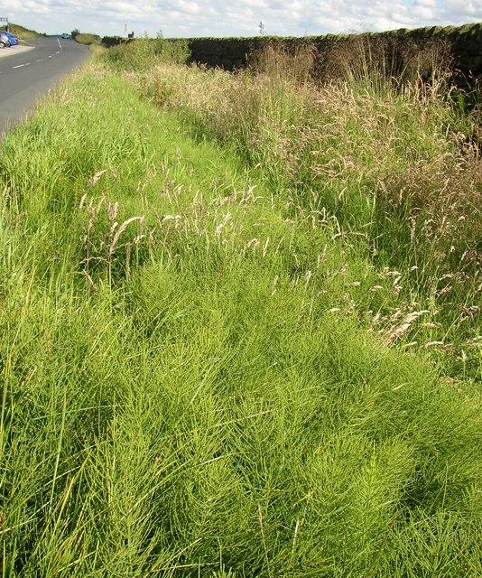 Horsetail, Redcar Lane, Keighley