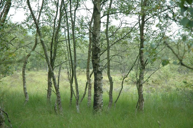 Silver birches on the moss east of Mungisdale