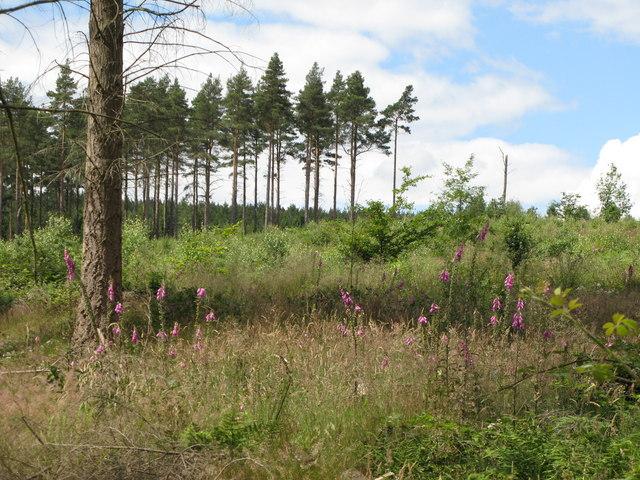 Clearing in Dipton Wood