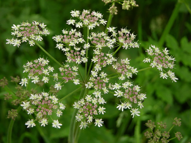 Cow Parsley or Queen Annes Lace