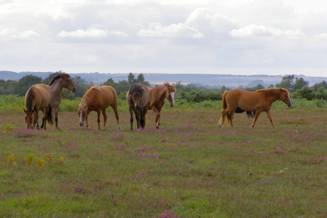 Ponies on Vereley Hill, New Forest