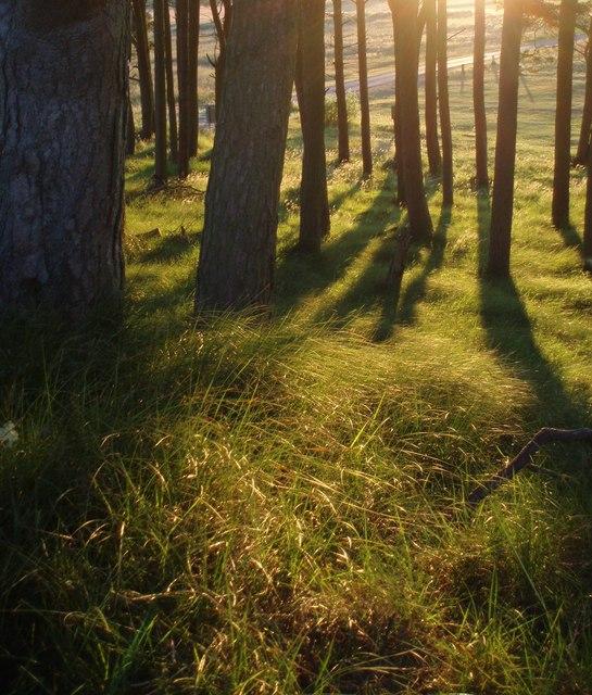 Scots Pine, on Barry Ridge