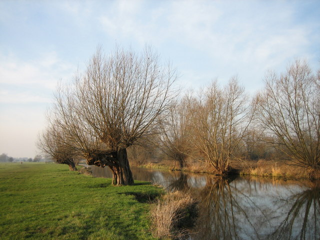 Pollarded willows in January sunshine