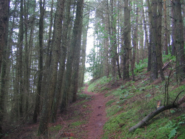 Fforest Coniferaidd ger Cnwch Coch/Coniferous Forest near Cnwch Coch