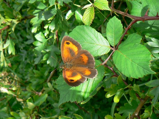 Gatekeeper butterfly, Wilts and Berks canal, Wootton Bassett (1)