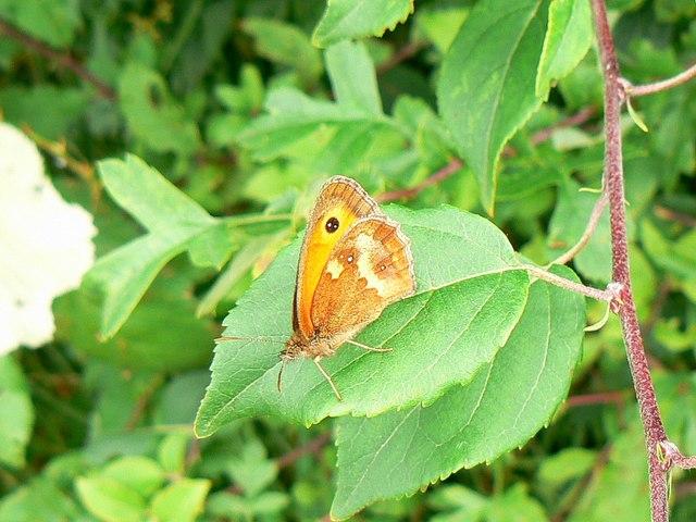 Gatekeeper butterfly, Wilts and Berks canal, Wootton Bassett (2)
