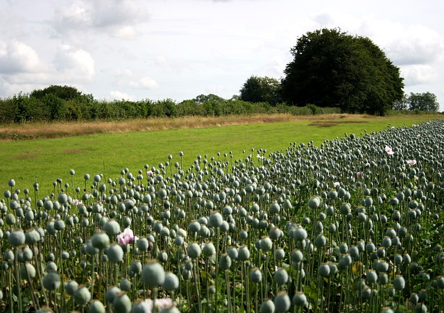 Field of opium poppies and gallop