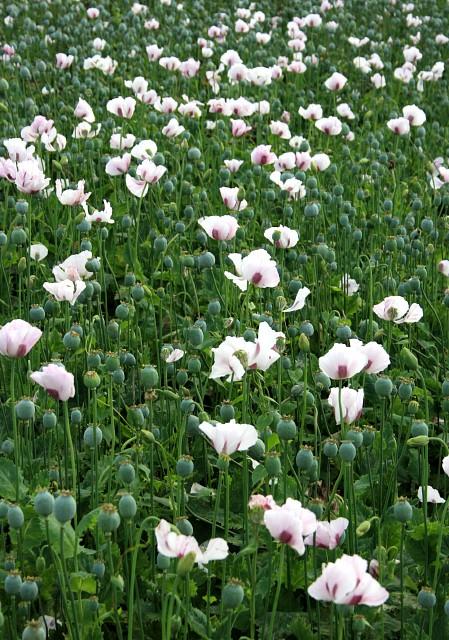 Opium poppies, Tunworth