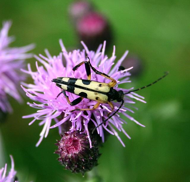 Longhorn beetle (Strangalia maculata)