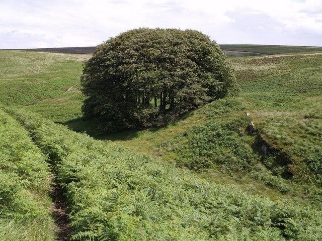 Beech trees on sheepfold