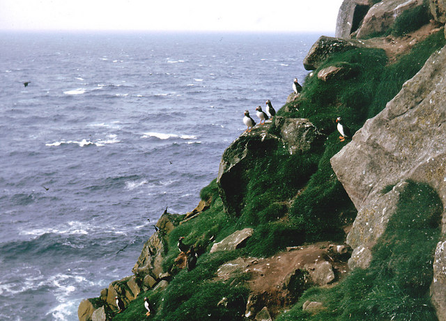 Puffins on the Ufshins