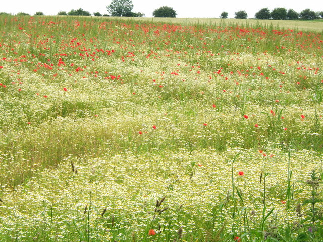 Poppies in Field north of Spilsby Hill