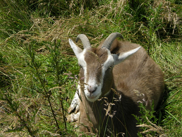 unusual goat near Hollingrove Farm