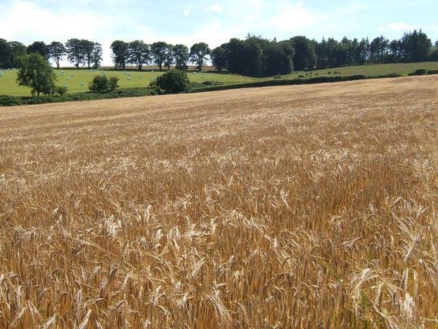Dancing barley - near Thickside