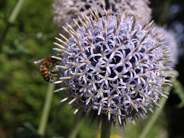 Bee on globe thistle, Dartington