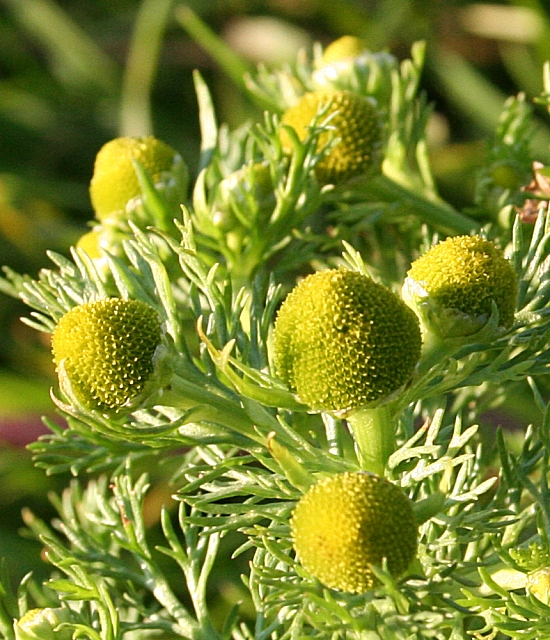 Pineapple Mayweed (Chamomilla suaveolens)