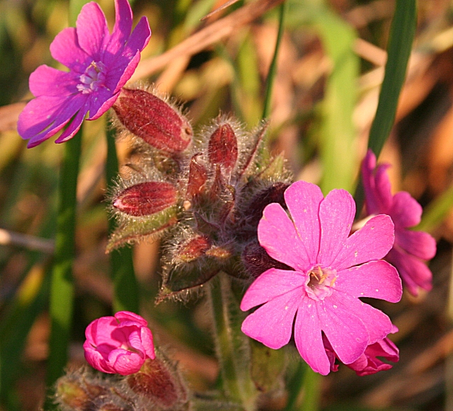 Red Campion (Silene dioica)
