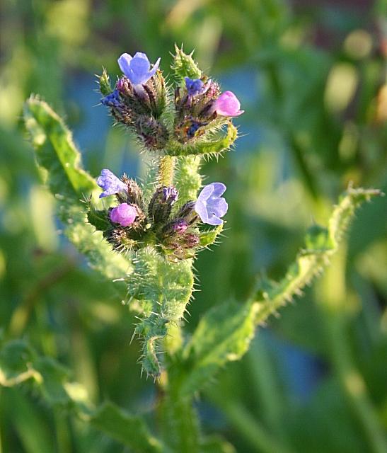 Bugloss (Anchusa arvensis)