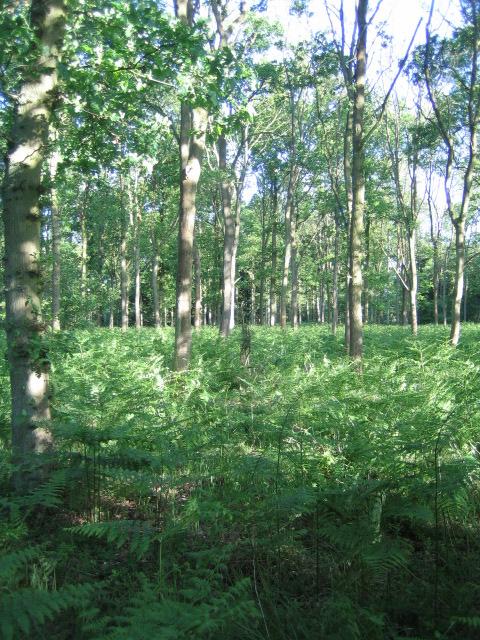 Runt's Wood near Botolph Claydon