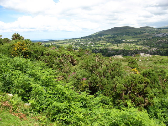 Rhedyn ac eithin ar Y Clegyr. Bracken and gorse on the Clegyr