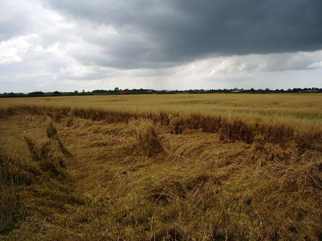 Wind blown oats