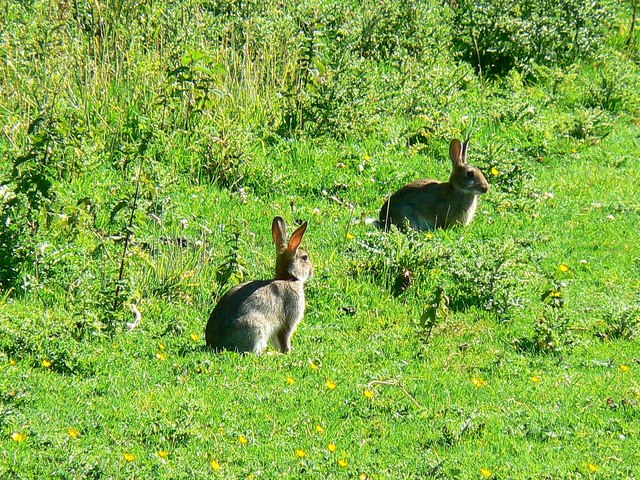 Rabbits, Hinton Parva combe
