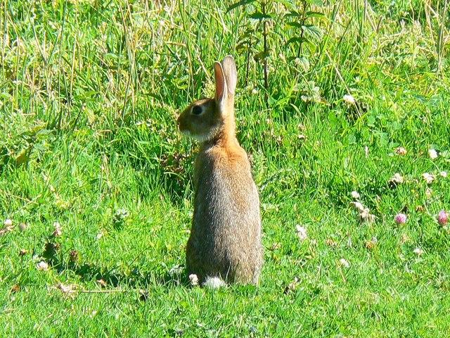 Rabbit, Hinton Parva combe