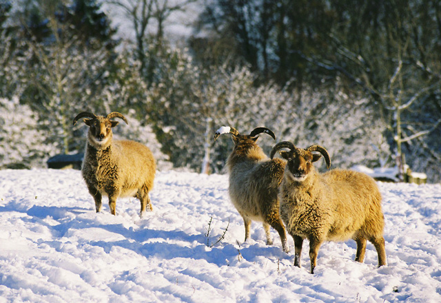 Soay Sheep in Elkstone