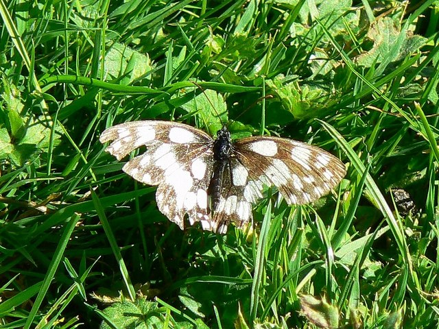 A Marbled White butterfly, Hinton Parva combe