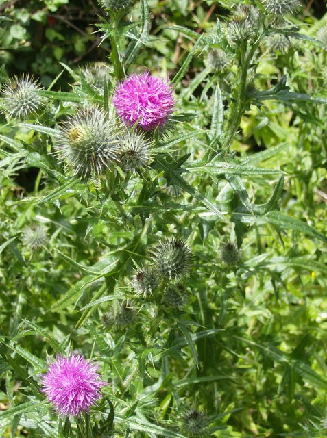 Thistles above Bowcombe