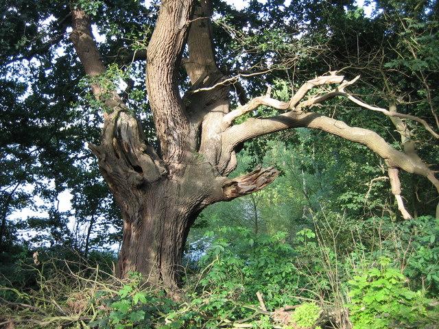 Old oak in Larch Wood, Alton Water