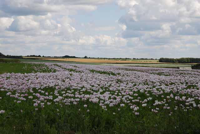 Poppy field on Tenantry Farm