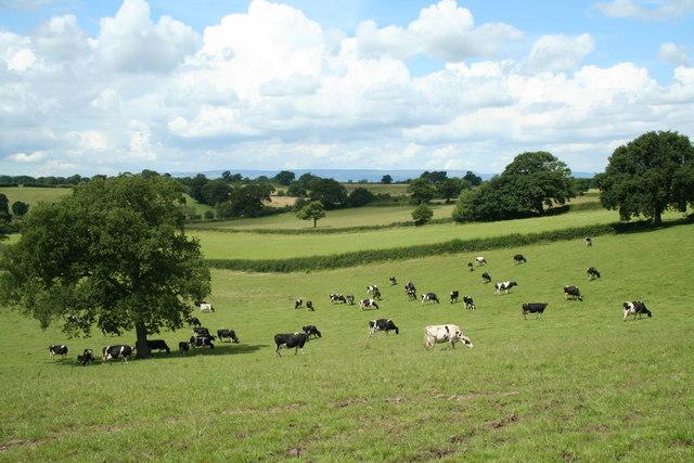 Cross Border Cows.